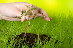Planting a seedling Stock Image