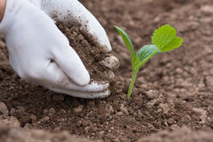 Planting seedling of marrow in the vegetable garden, closeup Stock Image