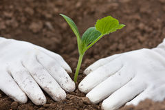 Planting seedling of marrow in the vegetable garden Royalty Free Stock Images