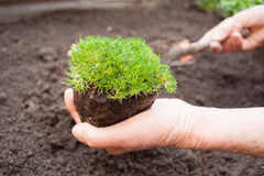 Planting seedling Royalty Free Stock Photos