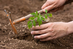 Planting of seedling of tomatoes Stock Photos