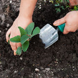 Planting a seedling tree. Outdoor Royalty Free Stock Photo