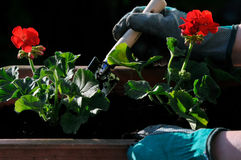 Planting seedlings. Planting  flowers seedlings on the balcony Stock Photo