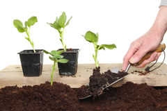 Planting seedlings Stock Images