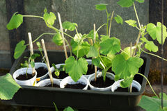 Before planting seedlings in the greenhouse. Stock Photo