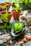 Planting seedlings in greenhouse Royalty Free Stock Photo