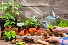 Planting seedlings in greenhouse Stock Images