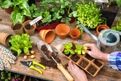 Planting seedlings in greenhouse Stock Photo