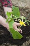 Planting seedlings Royalty Free Stock Image