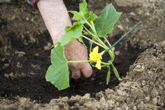 Planting seedlings Stock Photo