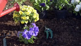 Planting seedlings and watering in backyard garden stock video footage