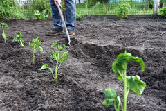 Planting Seedlings Royalty Free Stock Photography