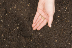 Planting seeds. Hand planting spinach seeds in fresh organic soil royalty free stock photos