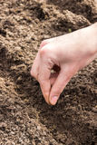 Planting seeds carrots Royalty Free Stock Photo