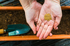 Planting seeds. Closeup of hands planting flower seeds in a flowerpot stock image