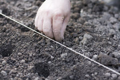 Planting seeds. Planting onion seeds at twine line royalty free stock image