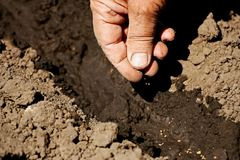 Planting seeds in the soil. Seeds. Spring planting of seeds. Close-up of the hand of a man who puts the seeds in the soil Stock Photo