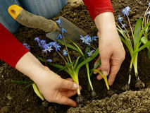 Planting siberian squill Royalty Free Stock Photography