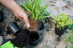 Planting. A small plant into a pot Stock Photography
