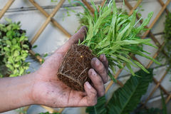 Planting. A small plant with rootlet in a hand Stock Images