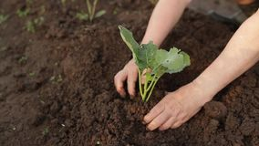 Planting a small plant into soil stock footage