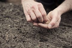 Planting spinach seeds. Frontal landscape view of human hands planting spinach seeds into the ground Stock Images