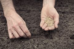 Planting spinach seeds. Frontal landscape view of human hands, one with the seeds, other planting spinach seeds into the ground Stock Image