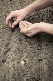 Planting spinach seeds. Frontal portrait view of human hands planting spinach seeds into the ground Royalty Free Stock Photo