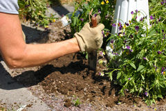 Planting spring flowers. Arm of woman planting spring flowers Stock Images