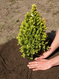 Planting spruce Royalty Free Stock Images