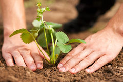 Planting strawberries in garden Royalty Free Stock Photography