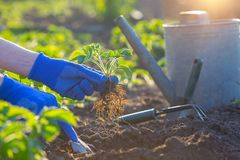 Planting strawberries in the garden. Hands holding a seedling, watering can and shovel in the background stock photography