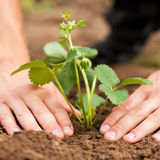 Planting Strawberries In Garden Stock Photos