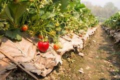 Planting strawberries Stock Image