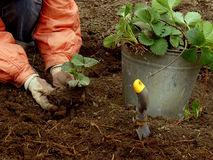 Planting strawberries Royalty Free Stock Photo