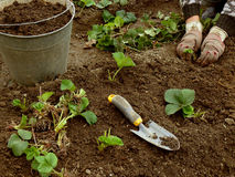 Planting strawberries Royalty Free Stock Photos