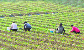 Planting strawberry. People planting at strawberry field at shenzhen city,china pic on oct 28,2011 stock image