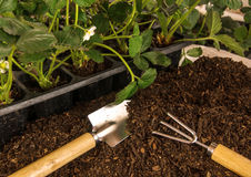 Planting strawberry. Bushes of strawberry, soil and garden tools Stock Photos
