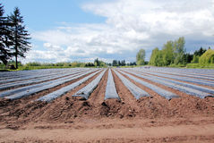 Planting Strawberry Field Royalty Free Stock Photography