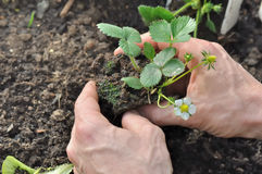 Planting strawberry Royalty Free Stock Photography