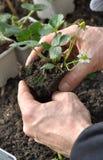 Planting strawberry Royalty Free Stock Image