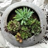 Planting succulent Hens and Chicks plants in Round Container With Dirt royalty free stock photo