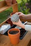 Planting Succulent Plants. Planting succulent plant into a clay pot at garden bench in a backyard Royalty Free Stock Photo