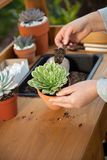 Planting Succulent Plants Stock Images