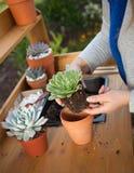 Planting Succulent Plants. Planting succulent plant into a clay pot at garden bench in a backyard Stock Image