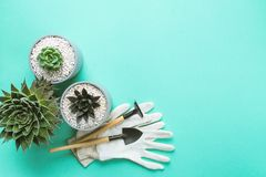 Planting of succulents. Planting succulents in pot with mitten and hoe on colorful background with copy space stock image