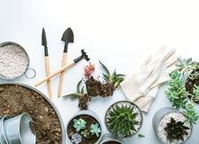 Planting of succulents. Top view of planting succuletns into pot with copy space royalty free stock image