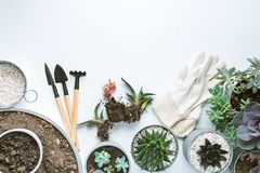 Planting of succulents royalty free stock images
