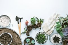 Planting of succulents. Top view of planting succuletns into pot with copy space royalty free stock images