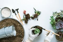 Planting of succulents. Top view of planting succuletns into pot with copy space stock photography